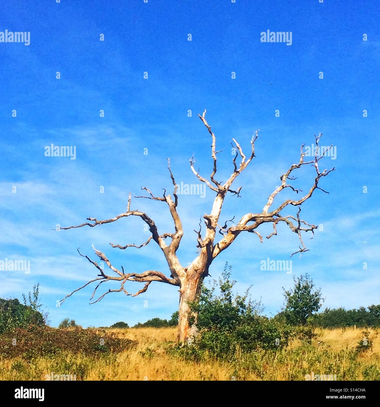 A solitary tree on Hampstead Heath, London - Stock Image