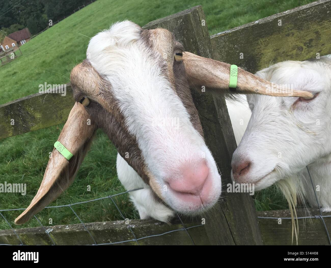 Boer nanny goat and friend. - Stock Image