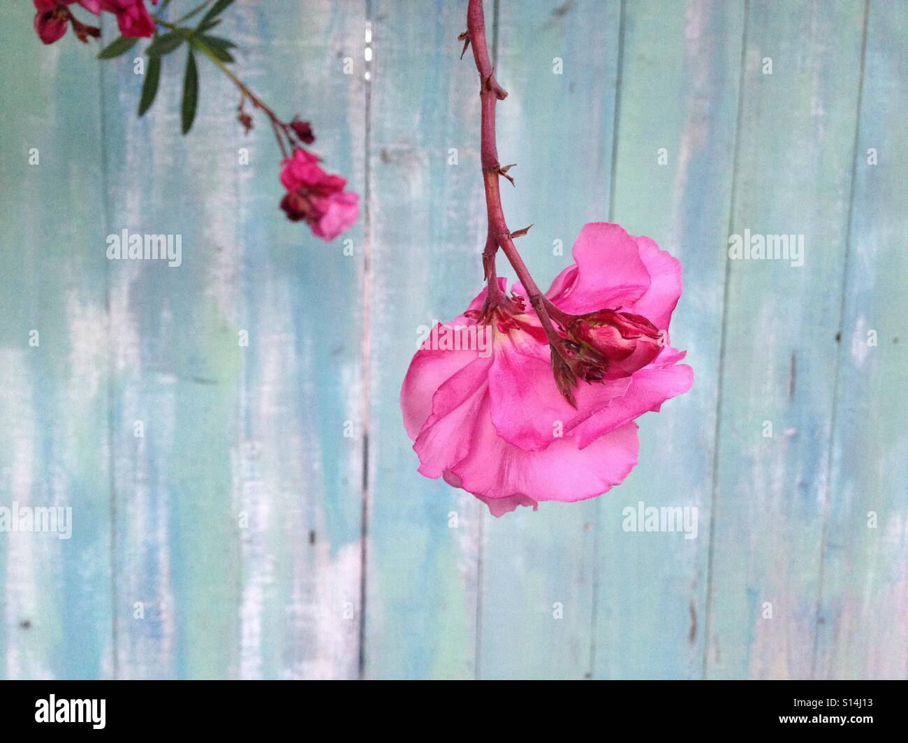 Pink flowers and fence - Stock Image