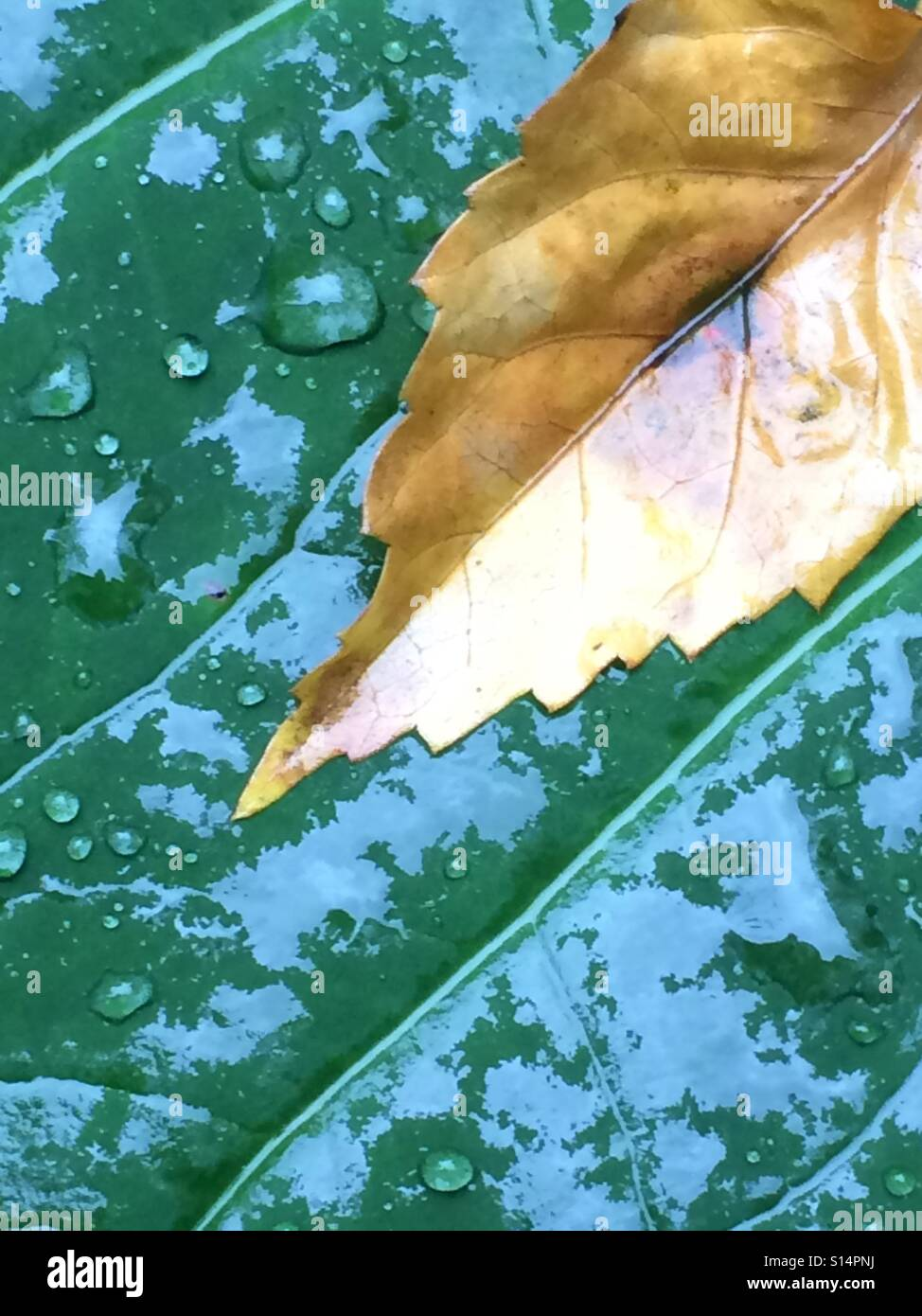 Yellowed leaf contrasting sharply against rain drenched green leaf background. - Stock Image