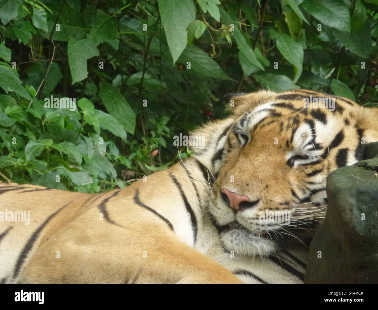 Who says it's a dog's life? A well fed tiger dozes in the midday heat. - Stock Image