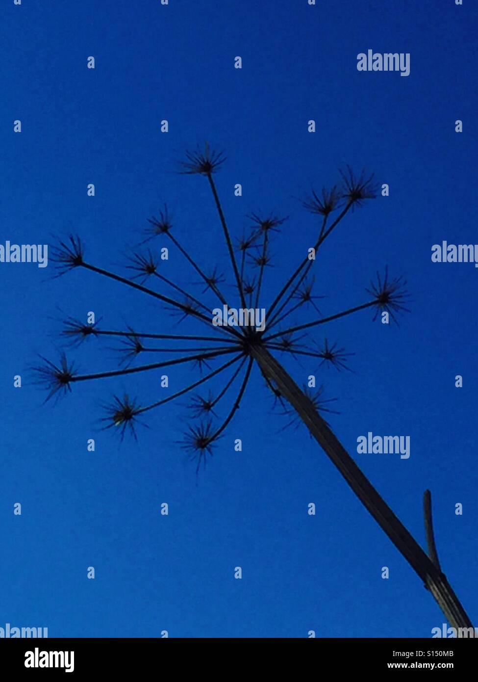 Dried flower against vivid blue sky - Stock Image