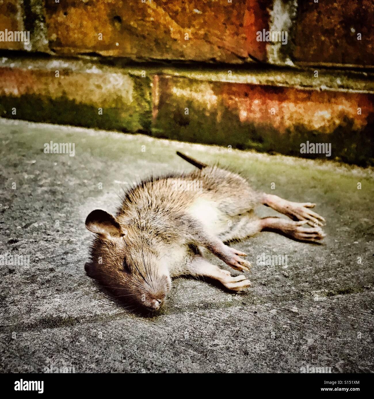 Dead rat - Stock Image