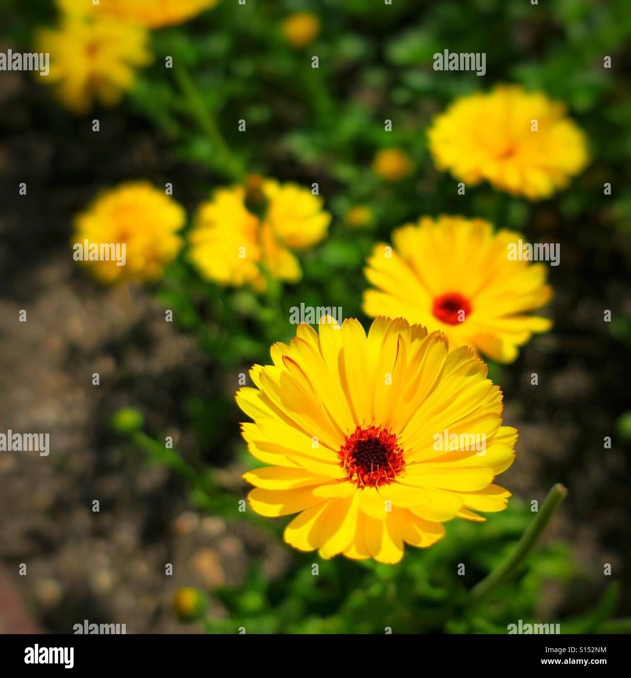 Yellow flowers with red centres in an English garden - Stock Image