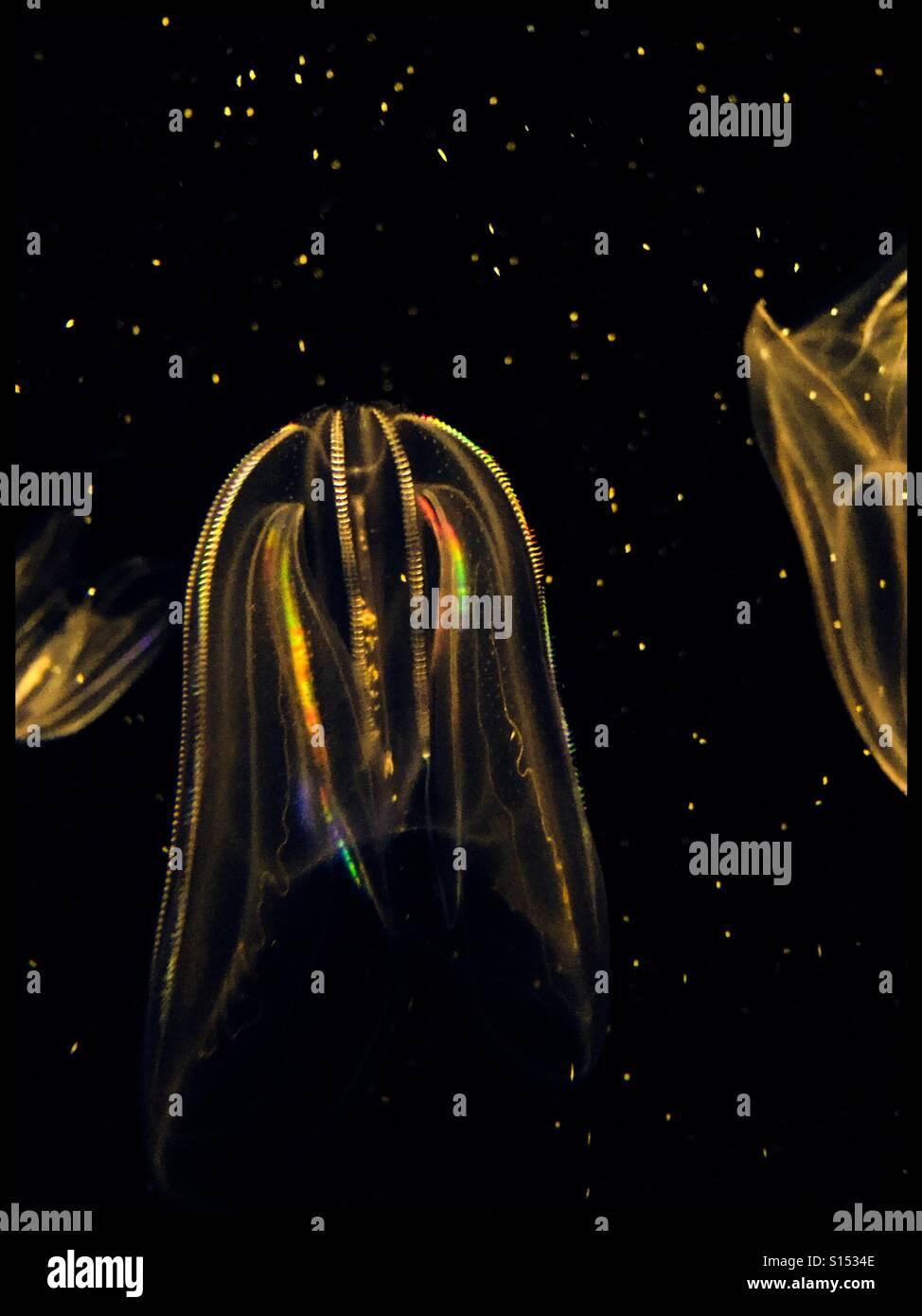 Rainbow colors of jellyfish - Stock Image