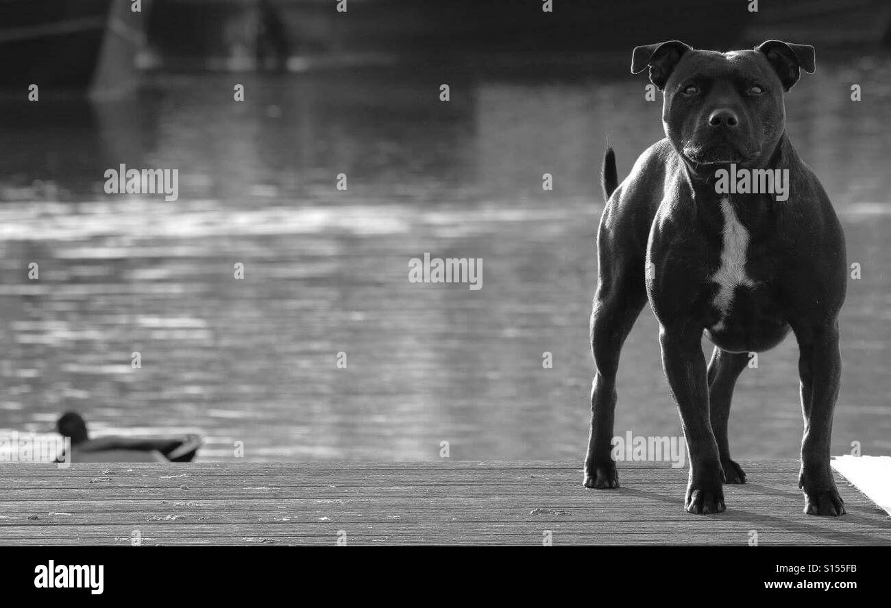 Staffordshire Terrier By River - Stock Image