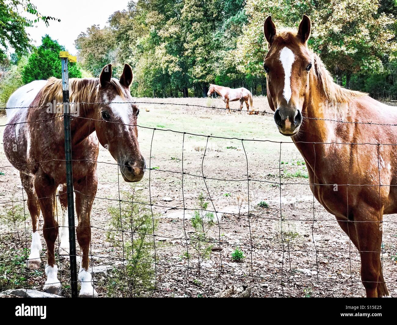 Beautiful trio of Appaloosa horses - Stock Image