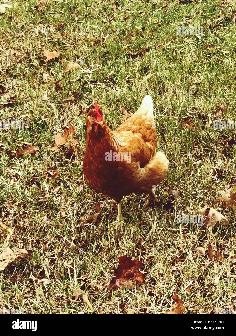 Poultry. Laying hen on small family farm - Stock Image