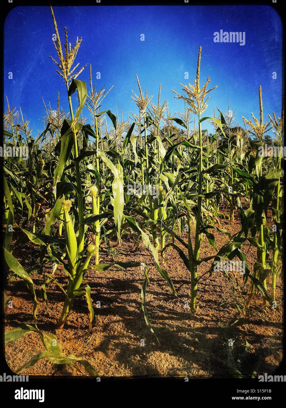Corn stalks with young corn - Stock Image