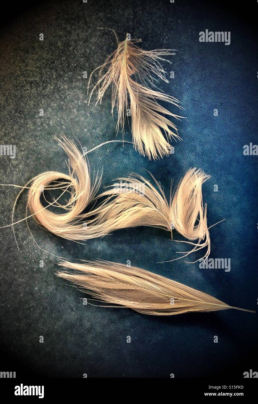 White feathers on a dark blue/black background. - Stock Image