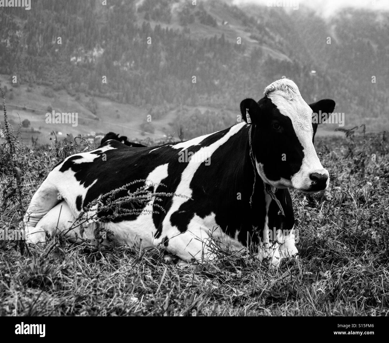 Cow in the mountains - Stock Image
