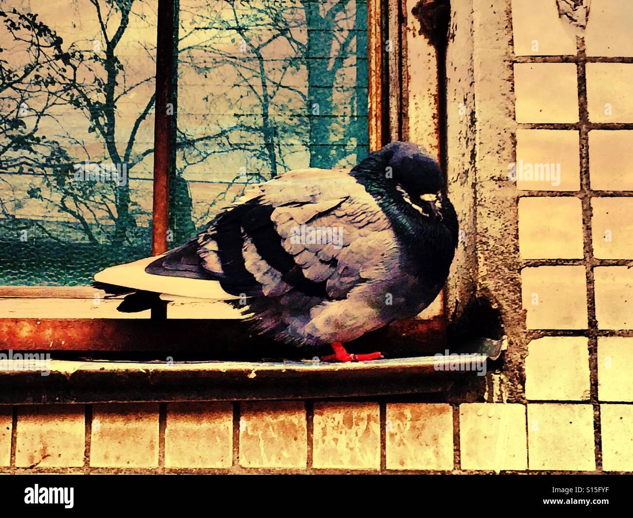 The yellow pigeon - Stock Image