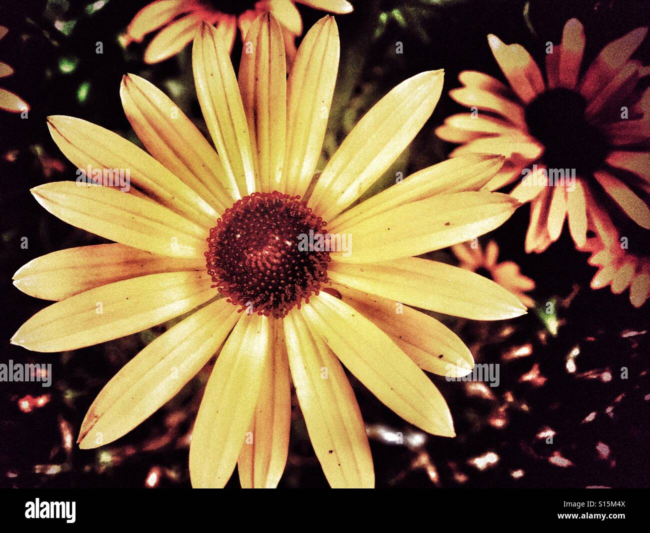 Daisy type flower stock photos daisy type flower stock images alamy patterns in nature yellow daisy type rudbeckia fulgida flower with a dark centre an izmirmasajfo
