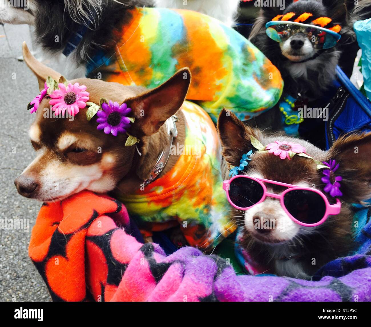 Stroller full of Chihuahuas at the 26th Annual Tompkins Square Park-Halloween Dog Parade in NYC East Village - Stock Image