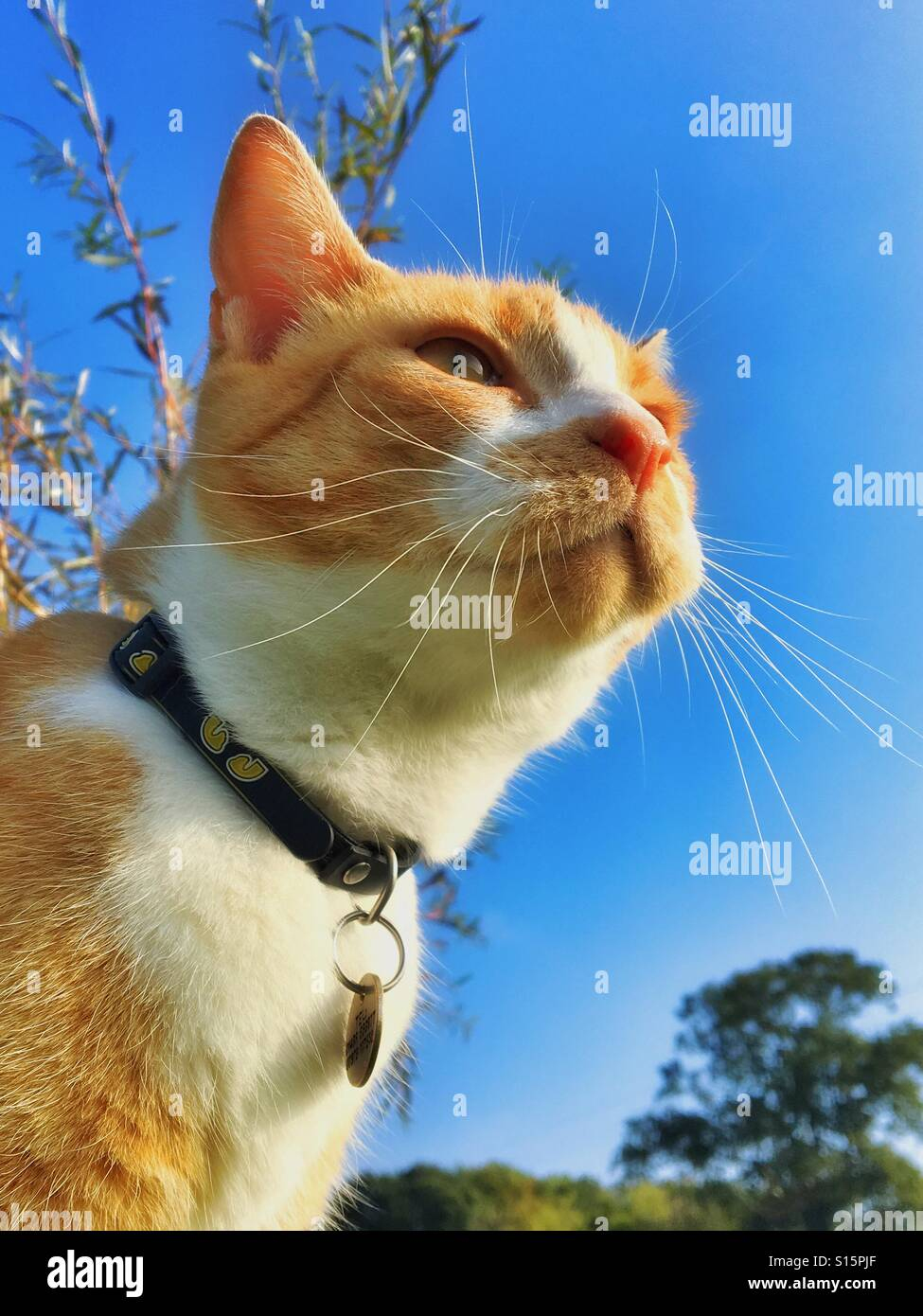 Ginger cat watching with a collar. Head, whiskers, eyes and ears against a blue sky Stock Photo