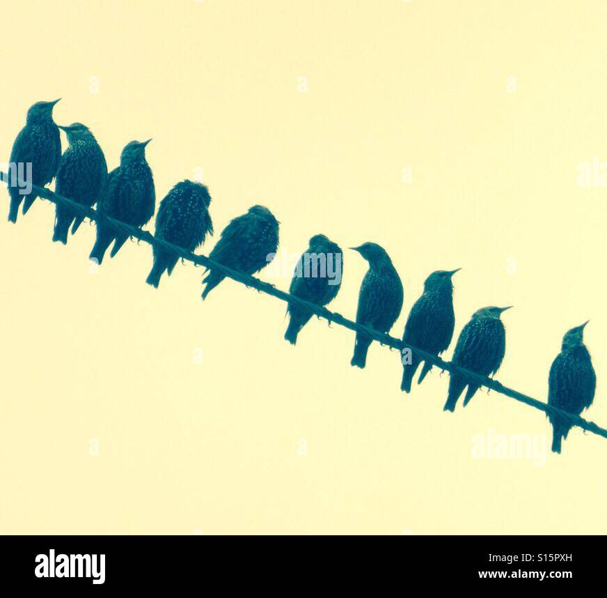 Starlings on a wire - Stock Image