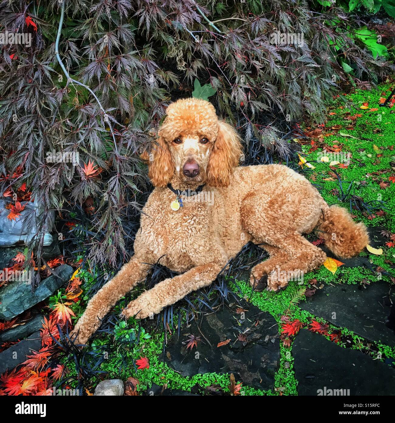 Poodle resting in a garden. - Stock Image