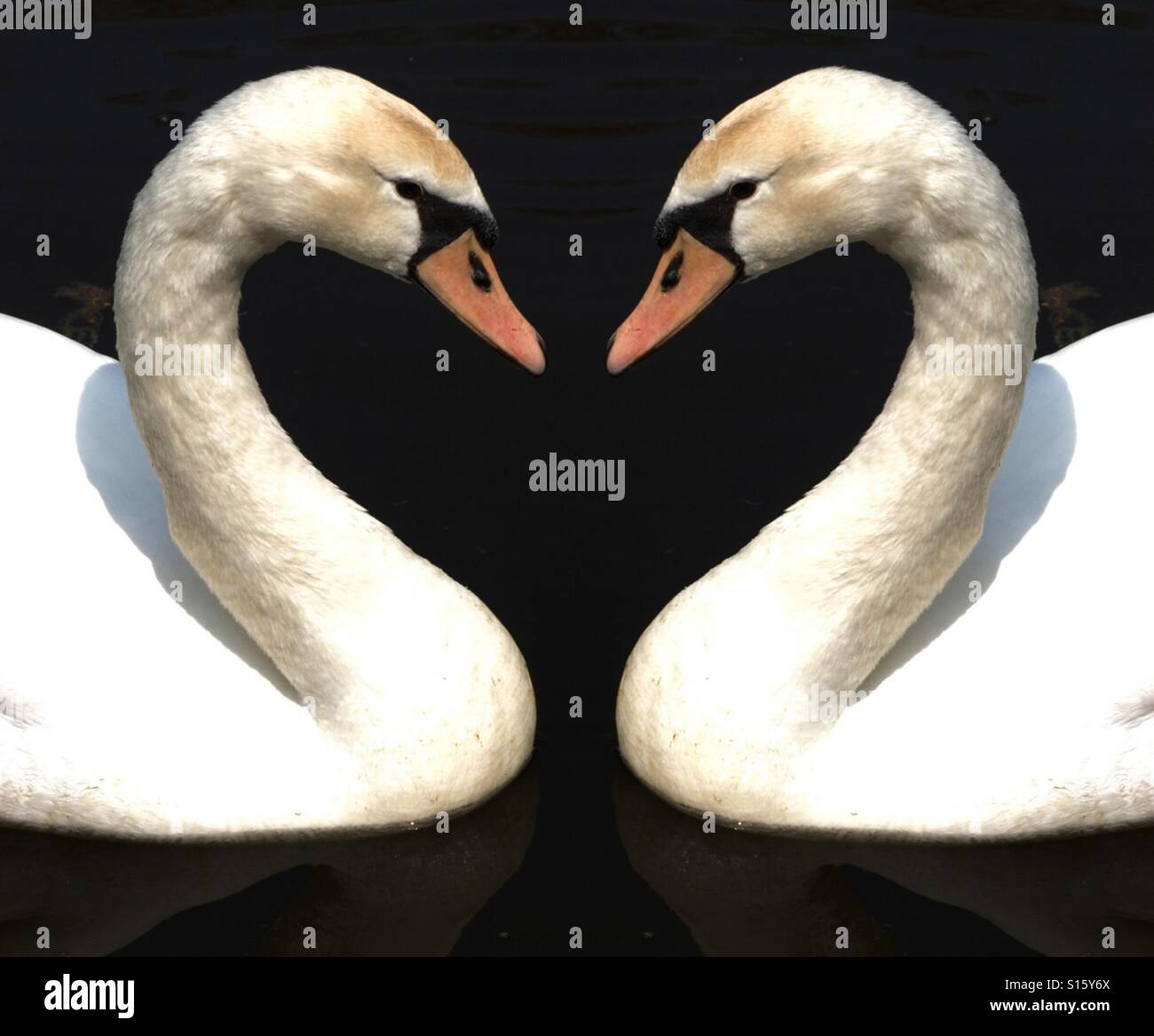 Two swans forming a heart shape Stock Photo