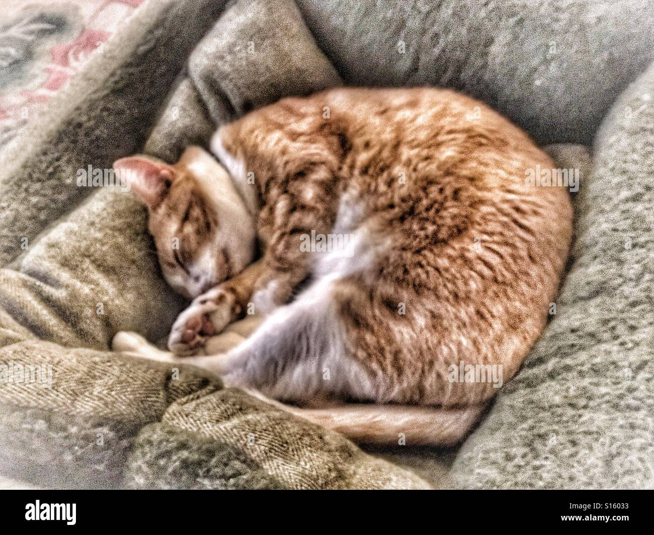 Ginger cat fast asleep in a dog's bed - Stock Image