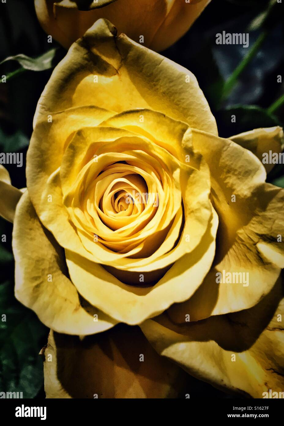 Single Rose Meaning Stock Photos Single Rose Meaning Stock Images