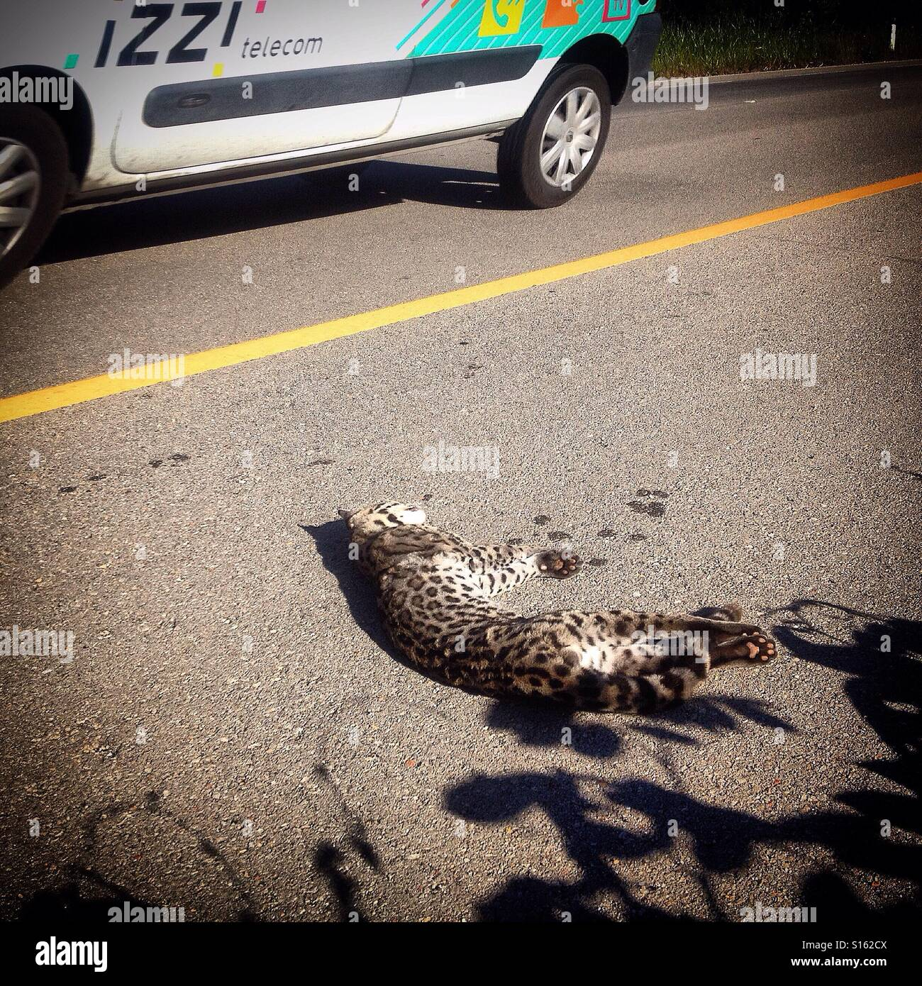 An ocelote, small tiger killed in a highway in Merida, Yucatan, Mexico. Roads kill millions of animals, from insects to big animals every year and the new roads are threatening Yucatan's biodiversity. Stock Photo