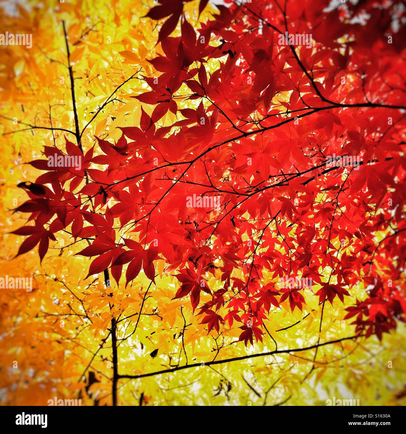 Autumn foliage and leaves at Westonbirt Arboretum Stock Photo