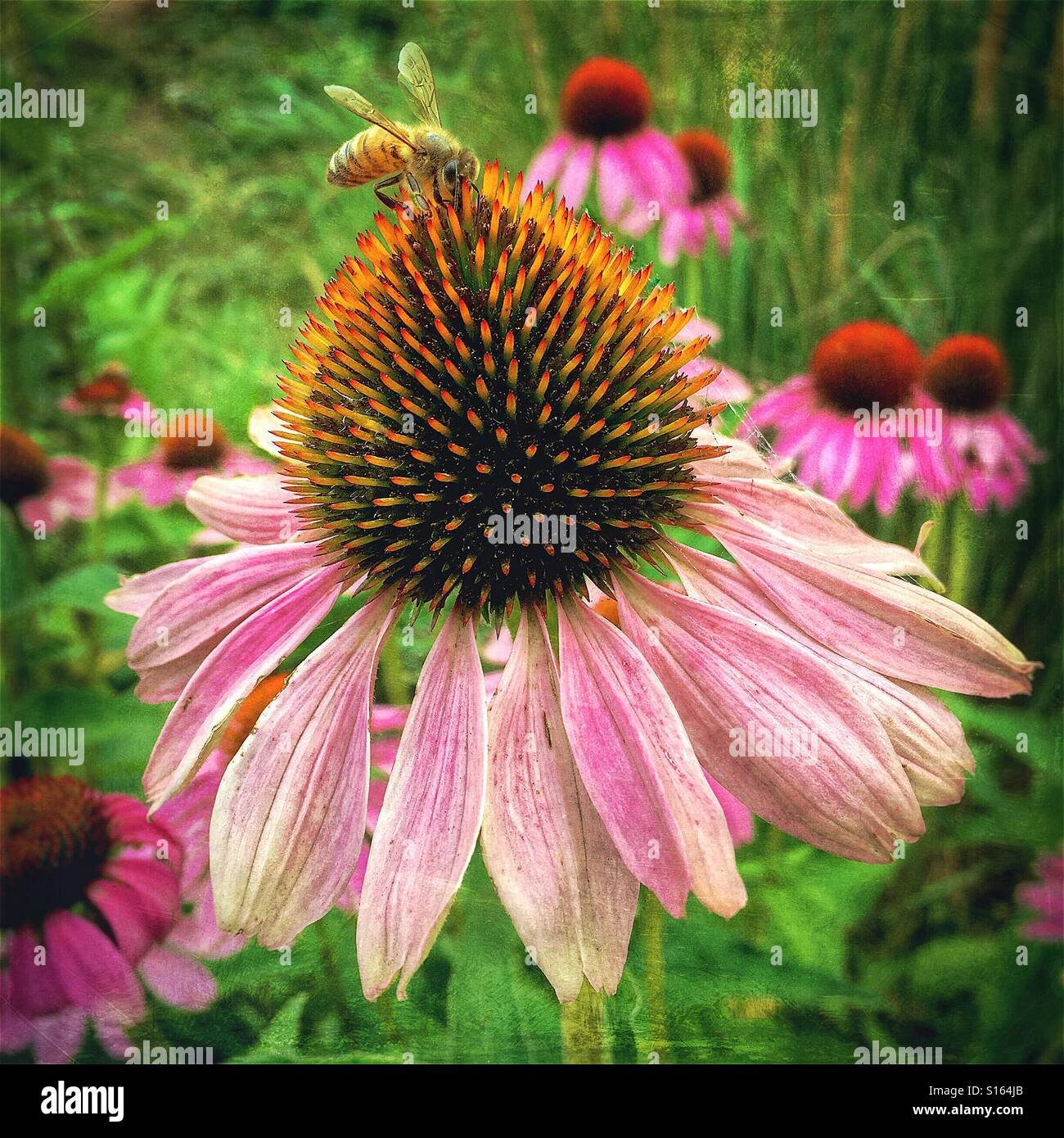 Textured vintage treatment of bee in late summer on late blooming echinacea purple cone flower - Stock Image