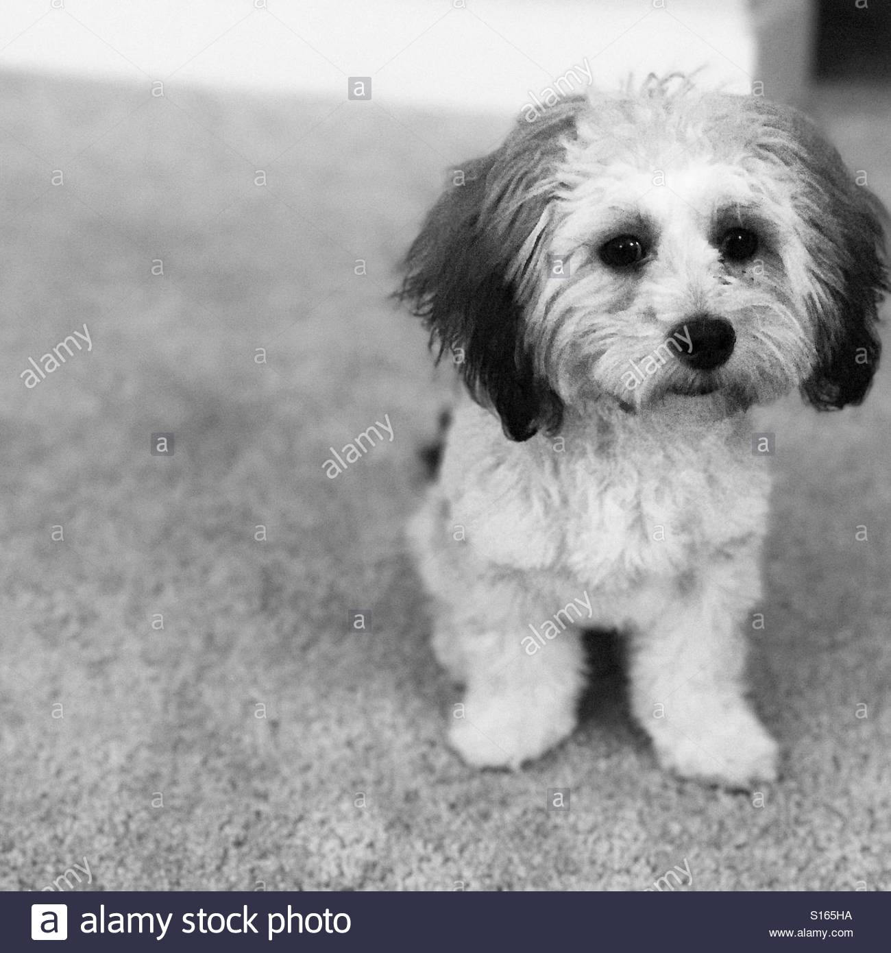 Black And White Photo Of Small Breed Shichon Puppy On