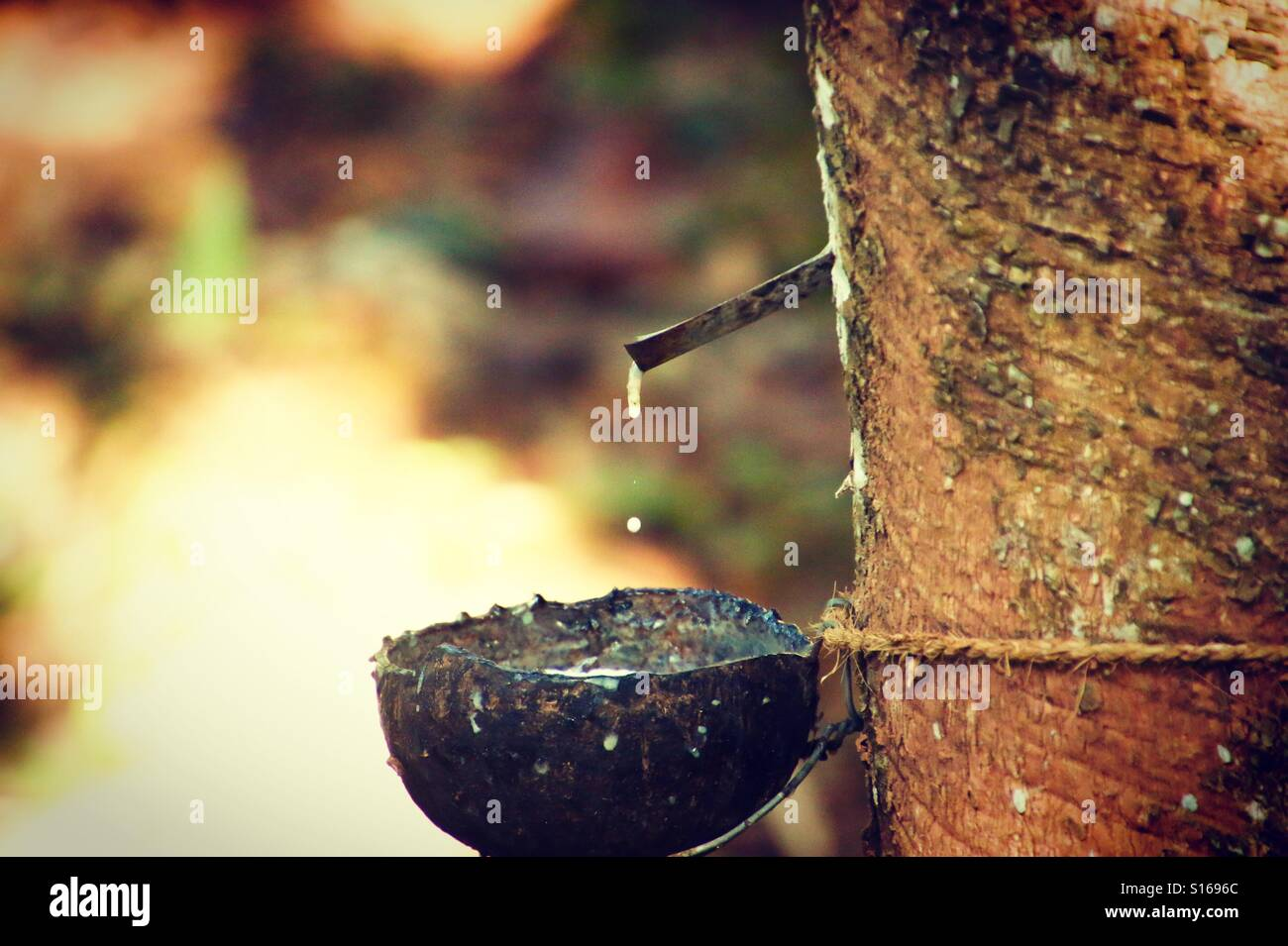 Rubber tapping kerala - Stock Image