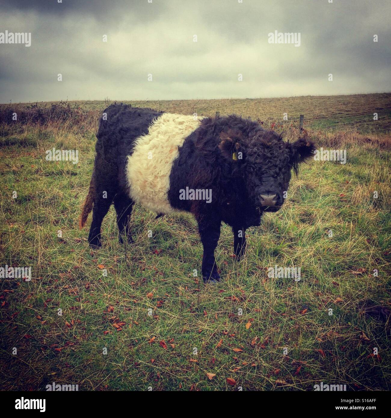 Woolley cow - Stock Image