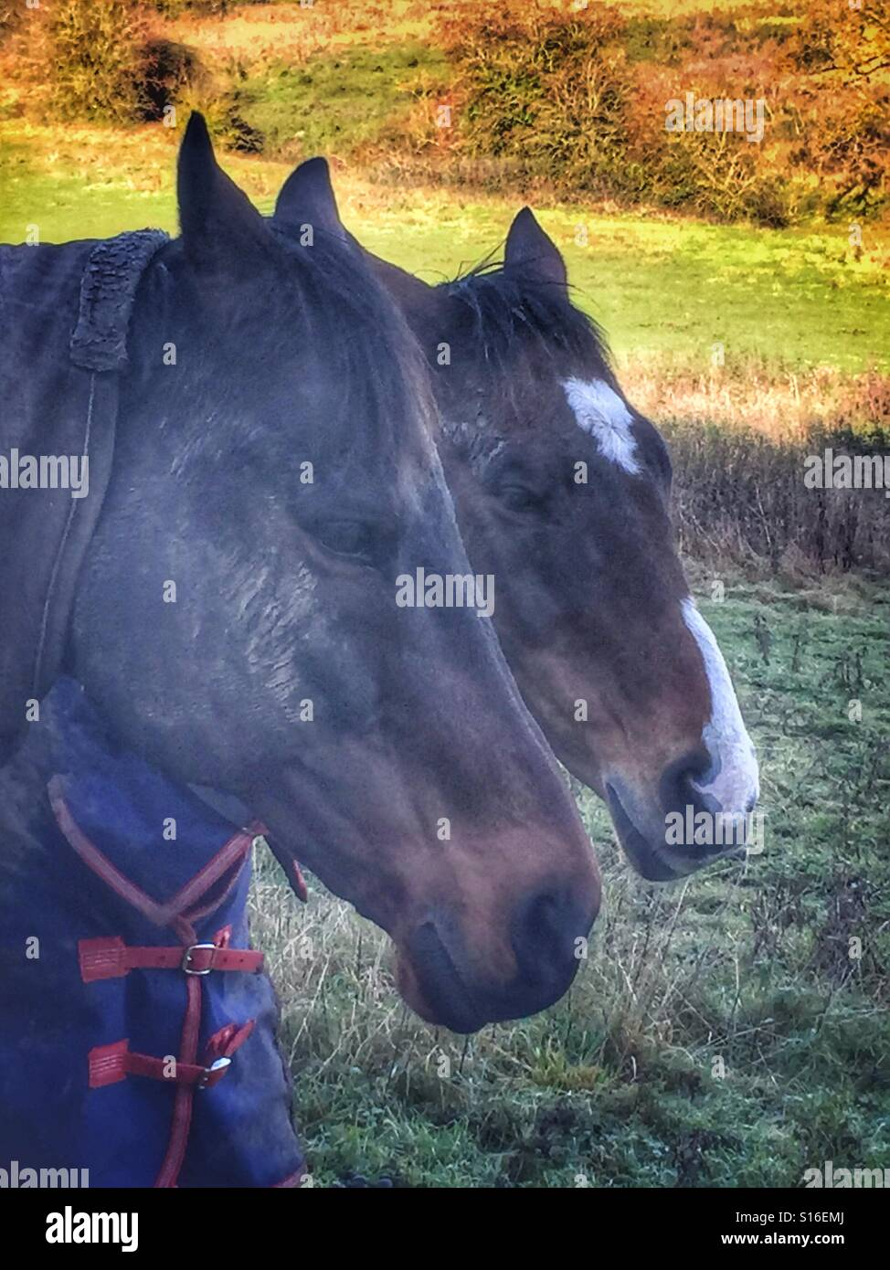 Horses in winter blankets keeping warm in the brisk Autumn  air - Stock Image