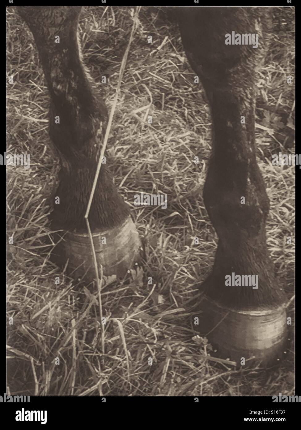 Horses legs and hooves - Stock Image
