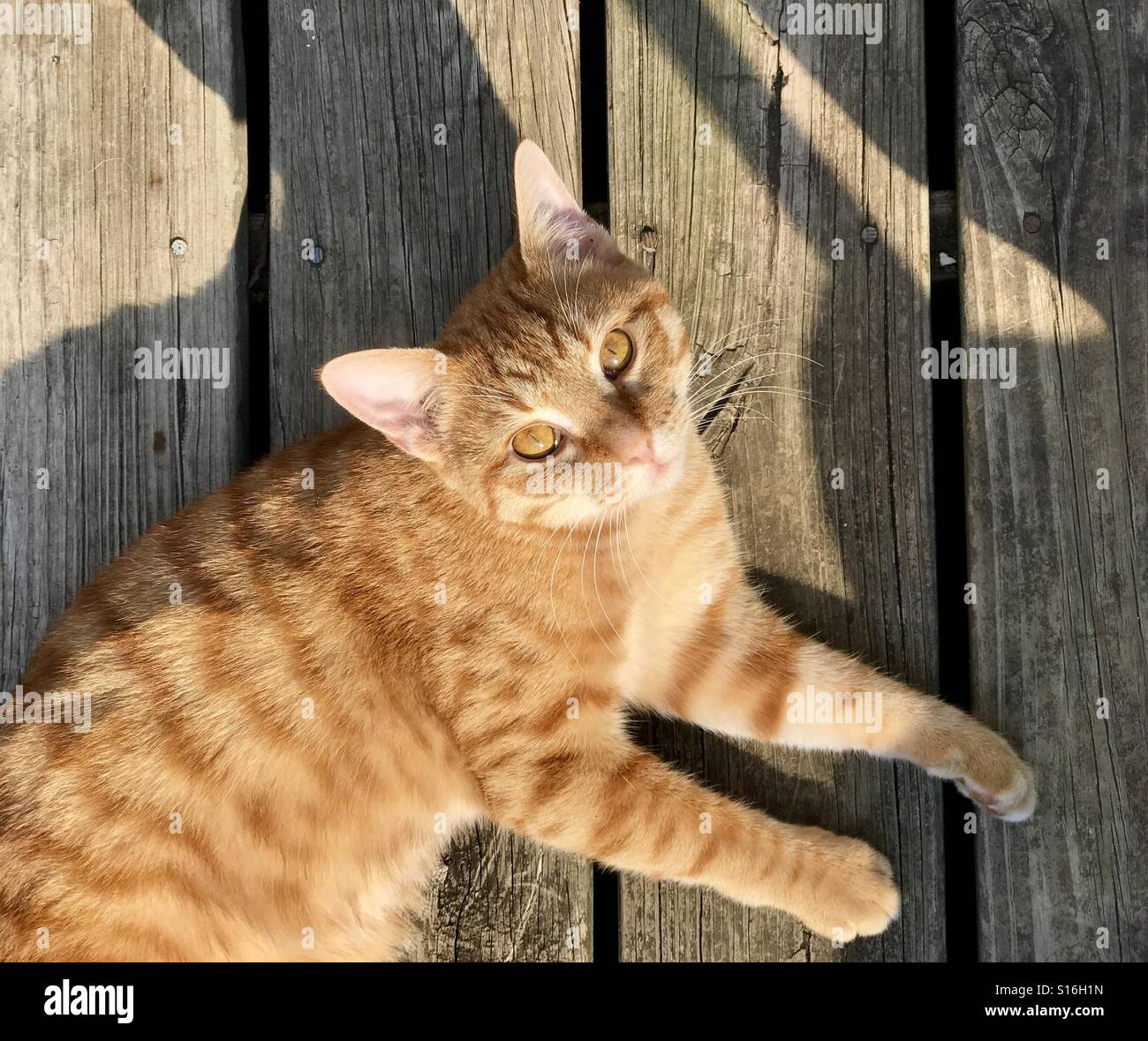 Orange Or Ginger Tabby Cat With Copper Eyes And Having Warm Fuzzies Stock Photo Alamy