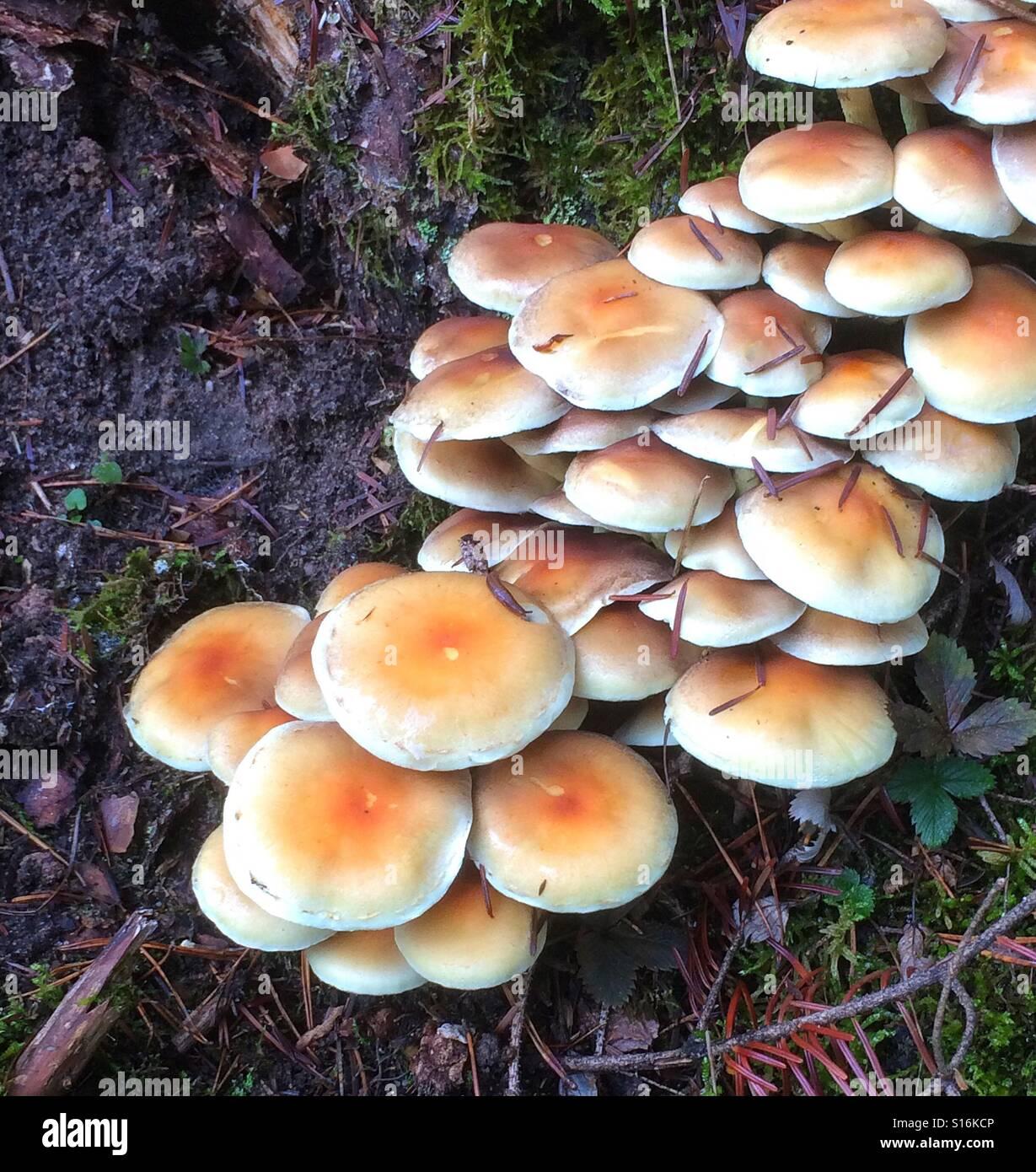 Stockpile, eatable mushroom - Stock Image