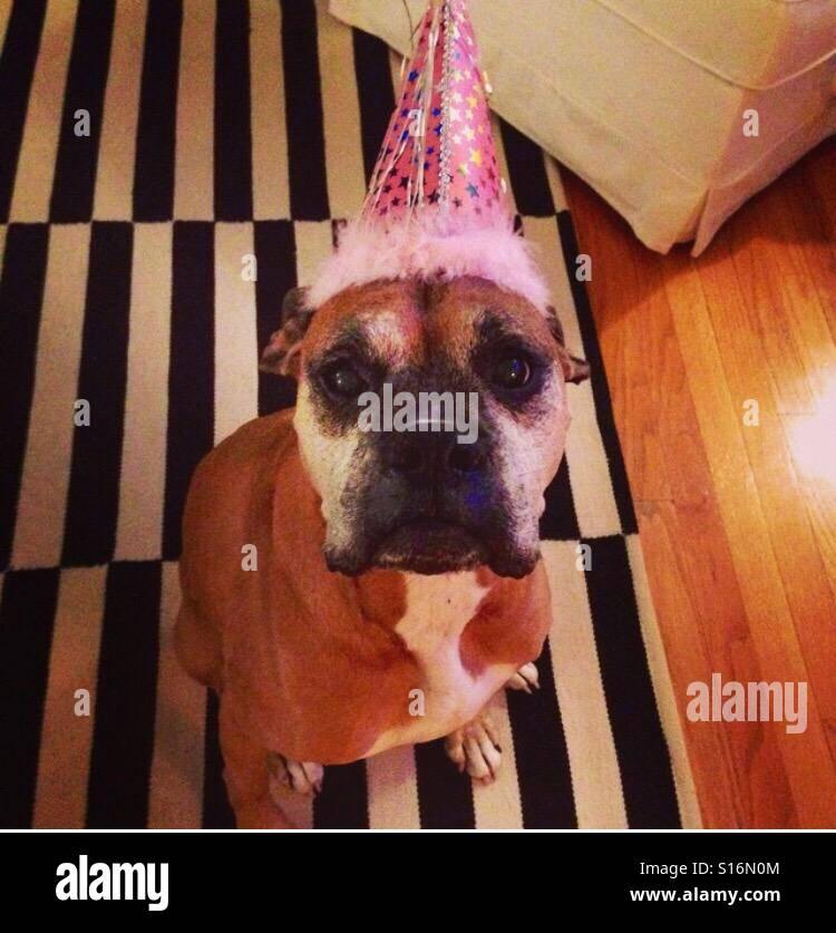 Boxer Birthday - Stock Image