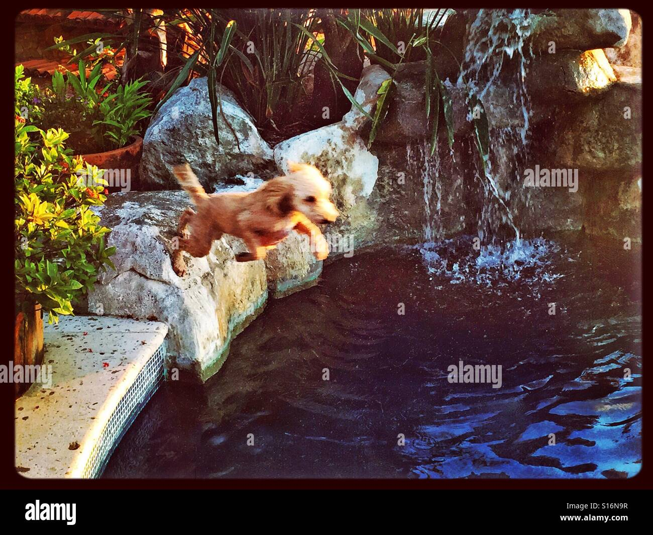 An action shot of a dog leaping into the refreshing water if a swimming pool with a waterfall. - Stock Image