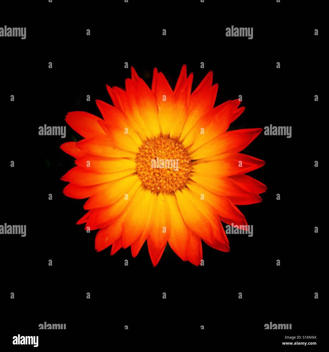 Orange autumn flower Macro lowlight - Stock Image