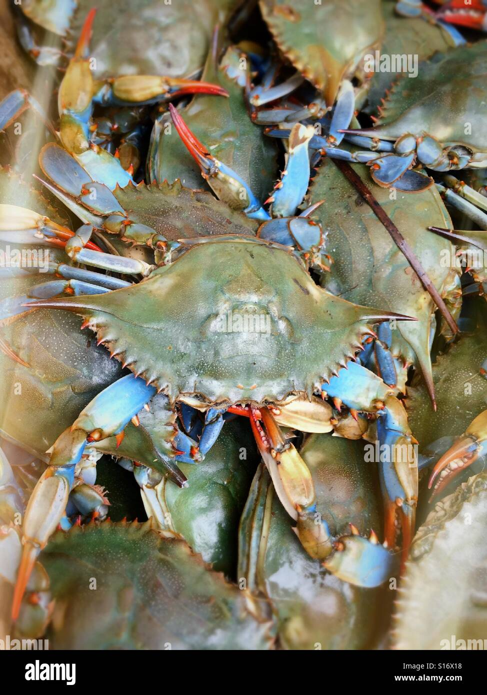 Live Bluepoint crabs for sale in Chinatown NYC - Stock Image