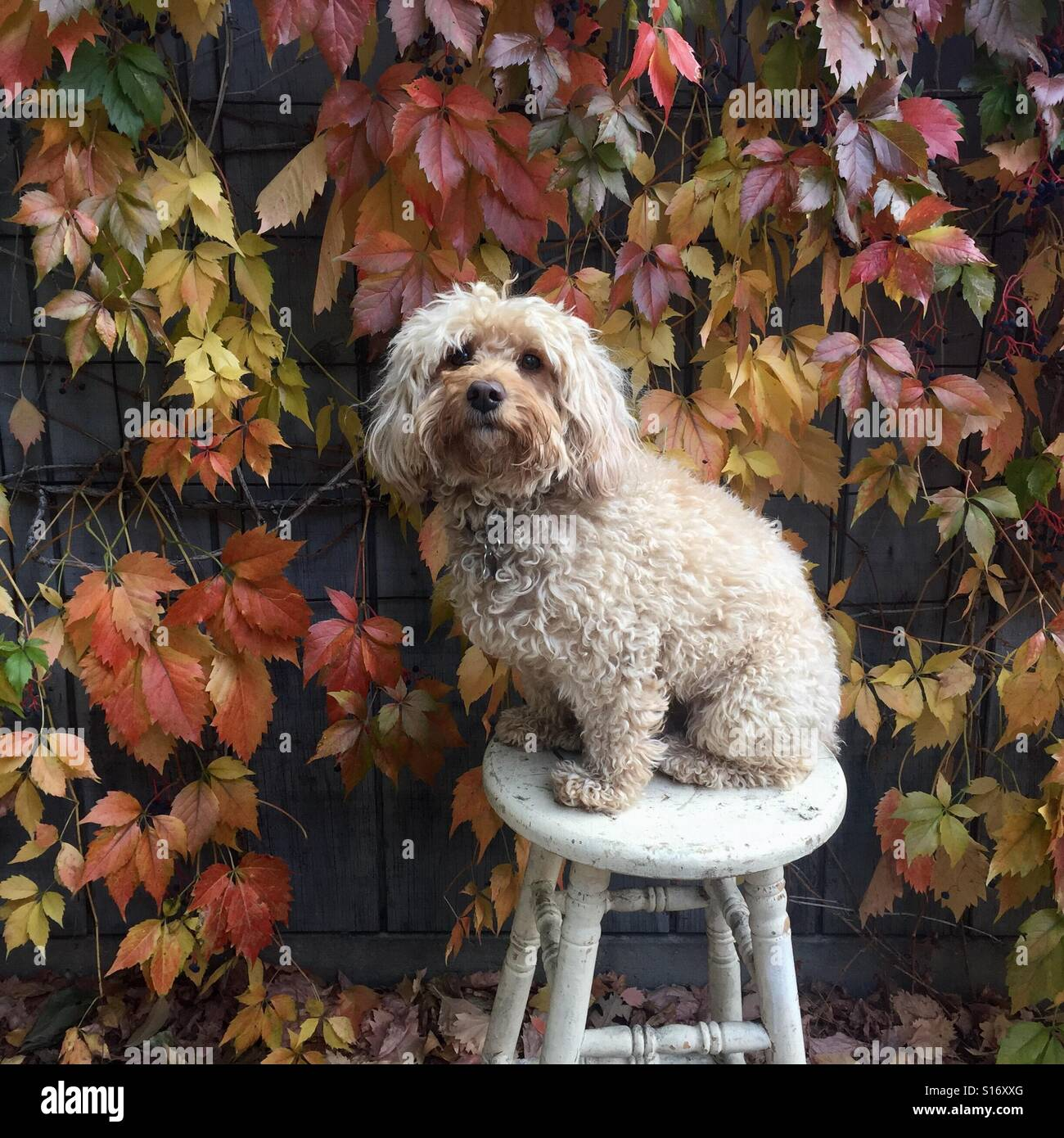 A goldendoodle puppy sits in front of a wall covered and colorful leaves. - Stock Image