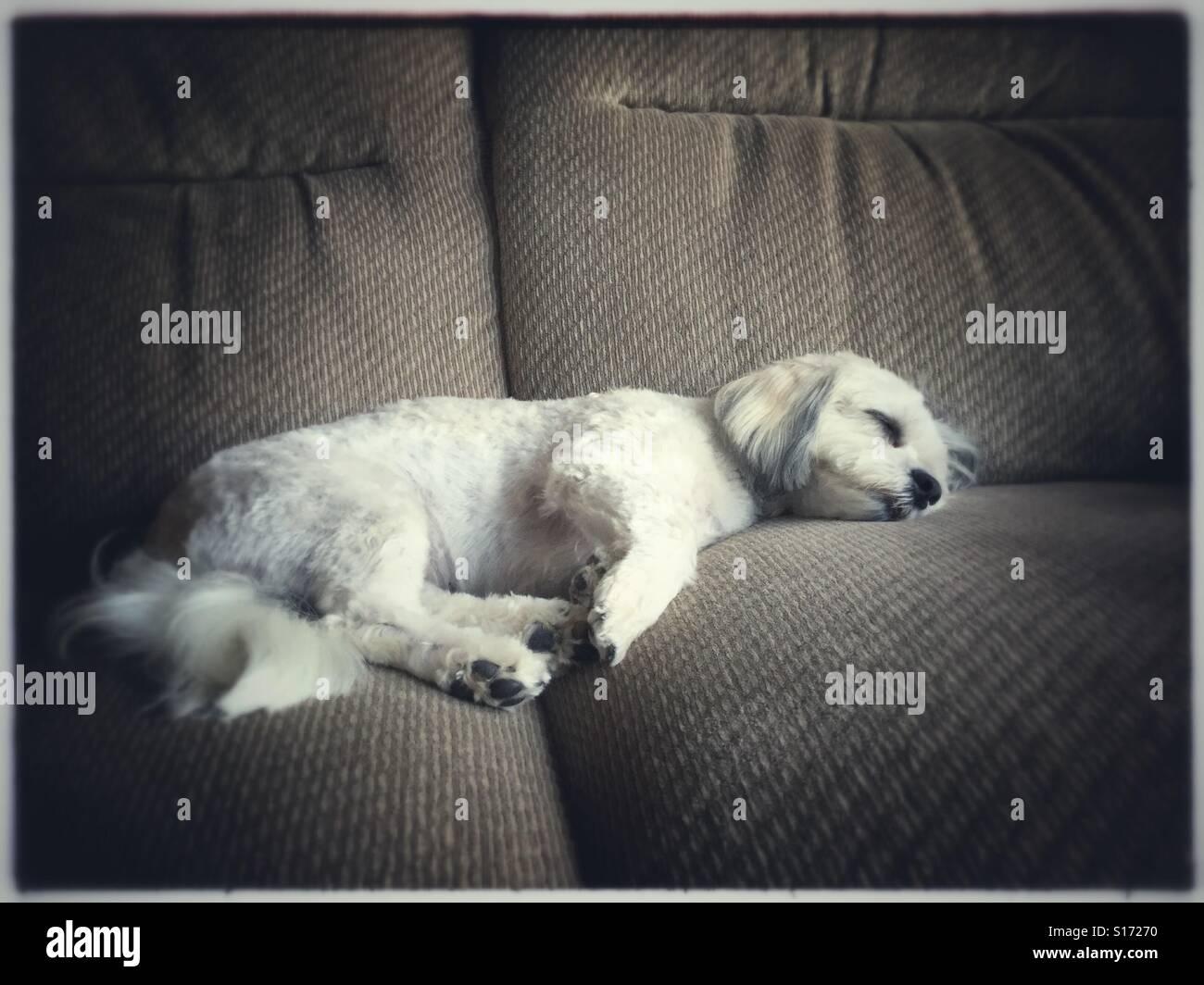 Zuchon mixed breed dog asleep on cushy sofa, USA, December 25, 2015, © Katharine Andriotis - Stock Image