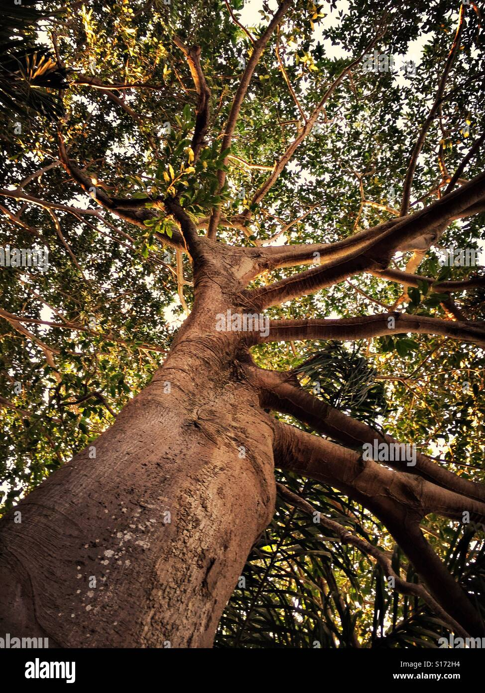 Looking up the trunk and into the canopy of branches and leaves, early morning sunlight begins to infiltrate a giant - Stock Image
