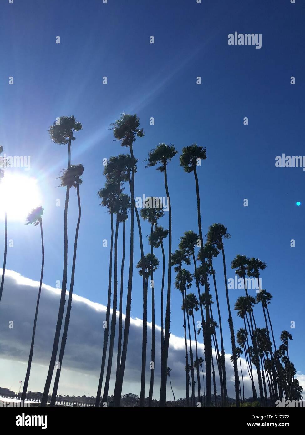 Windy palm trees 🌴 Santa Barbara - Stock Image