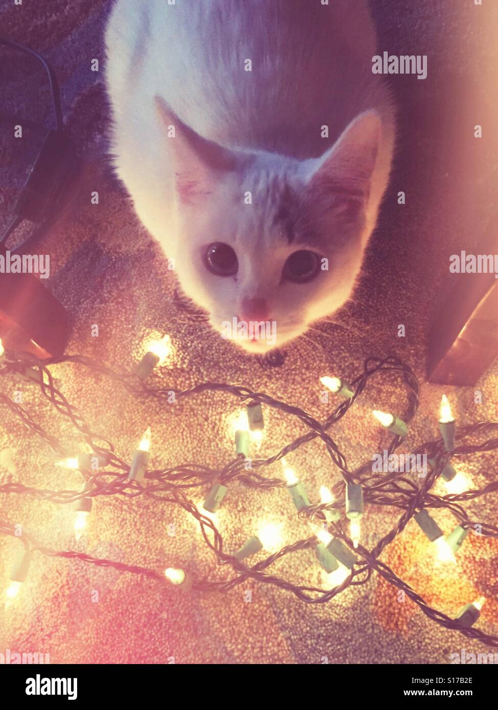 Cute kitty sits by twinkly Christmas lights. - Stock Image