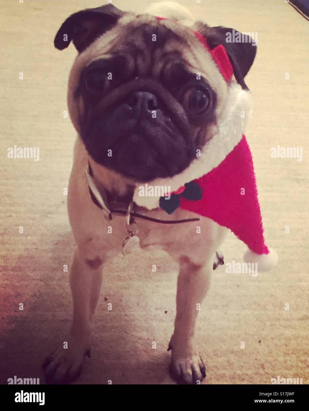 Pug wearing Father Christmas hat - Stock Image