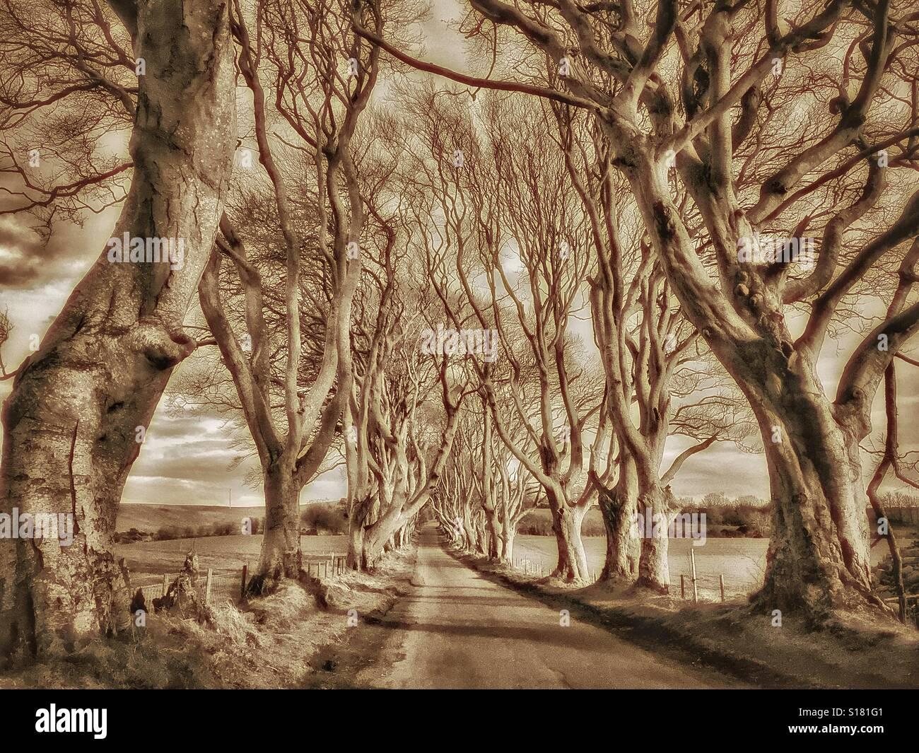 """THE DARK HEDGES"" - An Avenue of 18th Century Beech Trees near Ballymoney in Co. Antrim, Northern Ireland. ThisStock Photo"