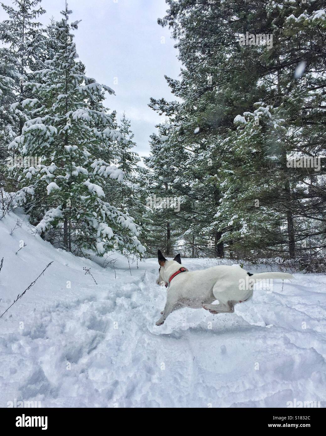 Small dog in motion, leaping across a snow covered trail in the forest. - Stock Image