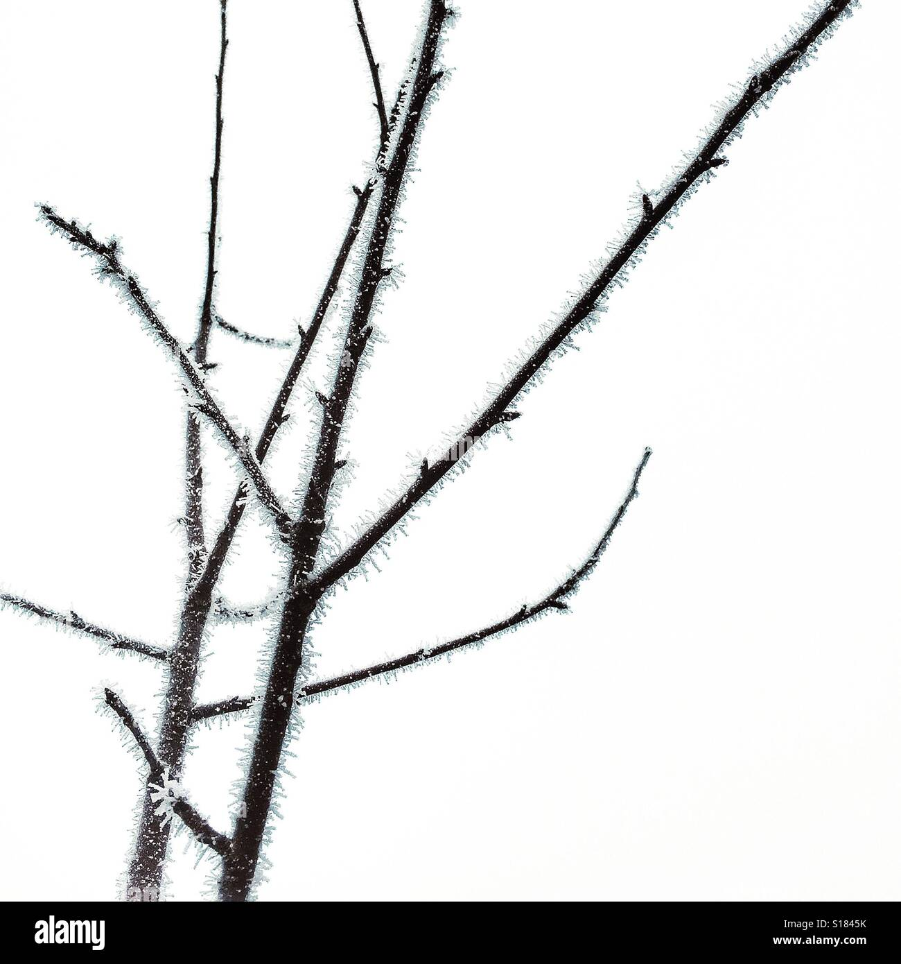 Silhouetted tree branches bristling with frost - Stock Image