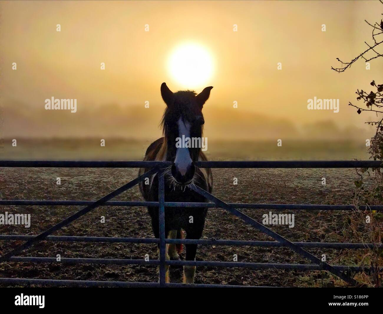 Horse in the golden hour - Stock Image