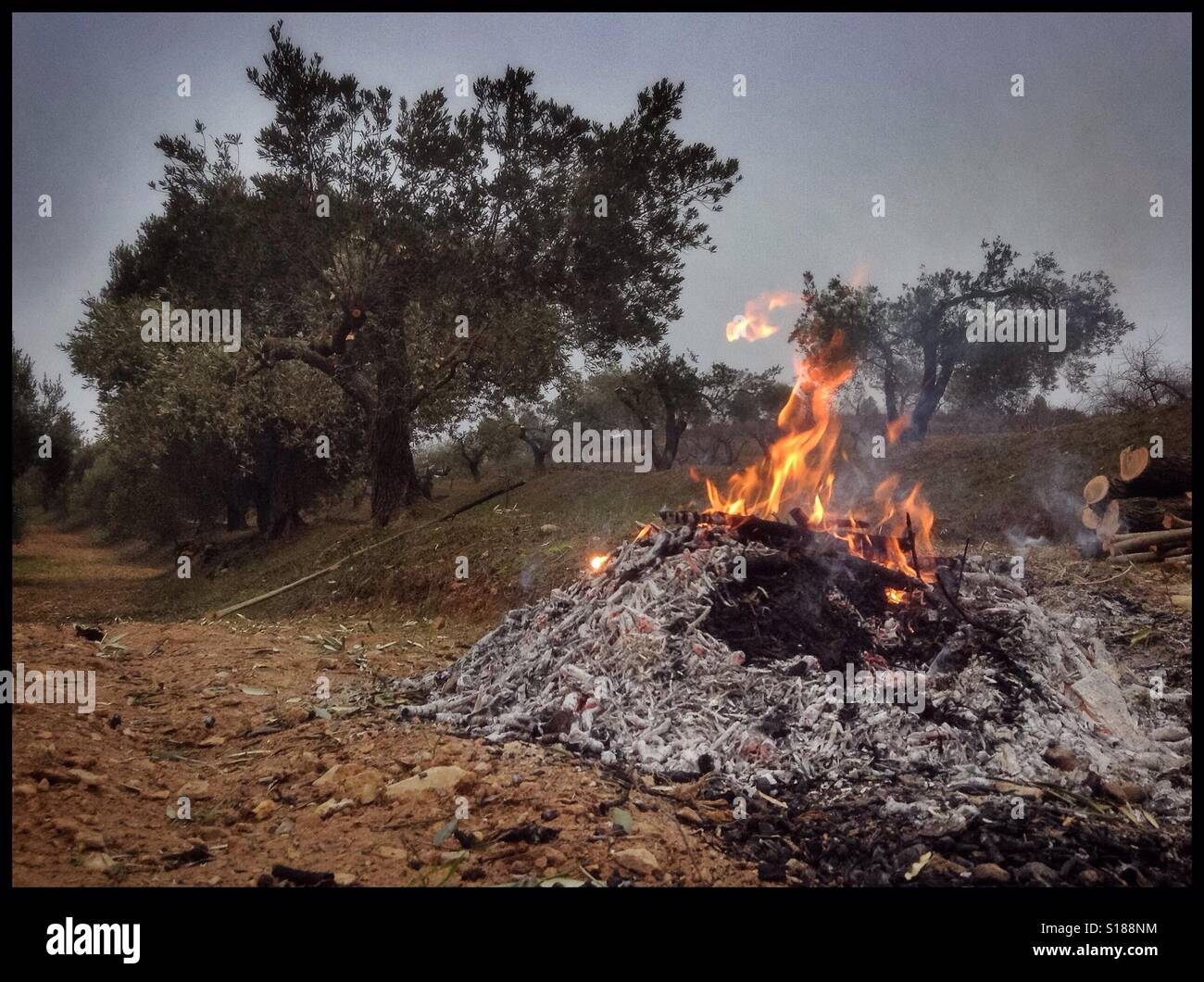 Burning olive branches during the seasonal pruning of olive trees, Catalonia, Spain. Stock Photo
