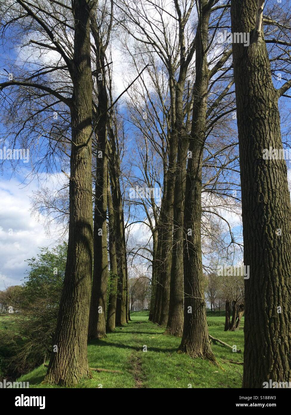 Tall trees in a blue sky with white clouds and green grass Stock Photo